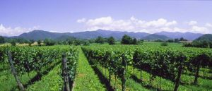 Franciacorta-Vineyards-Courtesy-of-Bresciatourism