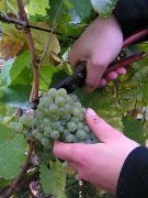 300px-Grape_gathering