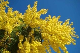 mimosa_-_le_muy